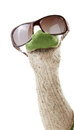 Wool sock puppet with sunglasses