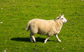 Woolen lamb on a scottish pasture Royalty Free Stock Photos