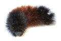 Woolly Bear (Arctiidae) caterpillar macro Royalty Free Stock Images