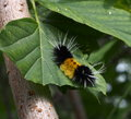 Woolly bear caterpillar feeding on maple leaf Royalty Free Stock Photography