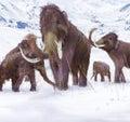 Vlněný mamut rodina