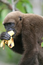 Woolly Monkey in Amazon Royalty Free Stock Photography