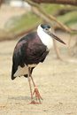 Woolly-necked stork Royalty Free Stock Photo
