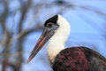 Woolly-necked stork Stock Photography