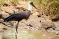 Woolly-necked Stork (Ciconia episcopus) Royalty Free Stock Photo