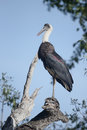 Woolly-necked stork, Ciconia episcopus Royalty Free Stock Photo