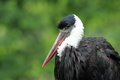 Woolly necked stork the detail of Stock Image