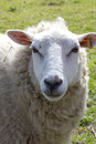 Woolly Sheep Royalty Free Stock Photo