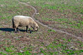 Woolly sheep standing in green field Royalty Free Stock Images