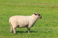 Woolly sheep standing in the pasture Royalty Free Stock Photo