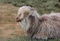 Woolly sheep talking in his sleep Royalty Free Stock Photo
