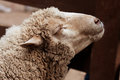 Woolly sheep in zoo Royalty Free Stock Photo