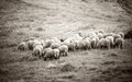Woolly sheeps grazing in mountains Royalty Free Stock Photo