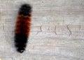Wooly Bear Caterpillar Royalty Free Stock Photo