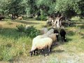 Wooly greek sheep grazing in ancient olive grove awaiting spring shearing Royalty Free Stock Photos