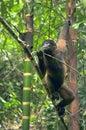 Wooly monkey in the amazonia of ecuador Royalty Free Stock Image