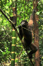 Wooly monkey in the amazonia of ecuador sitting on riverbank Royalty Free Stock Photo