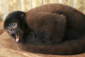 Wooly monkey being maintained in captivity Royalty Free Stock Photo