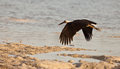 Wooly-necked Stork in flight Royalty Free Stock Photo