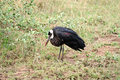 Wooly necked stork south africa ciconia episcopus perched on a branch in s kruger park Stock Photos