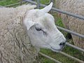Wooly Sheep. Royalty Free Stock Photography