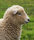 Wooly Sheep Stock Photos