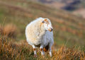Wooly sheep meirionnydd welsh mountain ewe Stock Photos