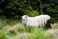 Wooly Sheep in New Zealand Stock Images