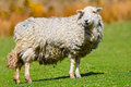 Wooly sheep welsh mountain ewe with thick coat Stock Photo