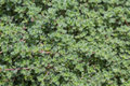 Wooly thyme detail of thymus pseudolanuginosus in the garden Royalty Free Stock Photo
