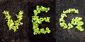 Word veg with lettuce growing Stock Image