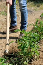 Work in a tomatoes cultivation manual processing of the ground with hoe Royalty Free Stock Photography