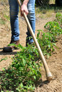 Work in a tomatoes cultivation manual processing of the ground with hoe Royalty Free Stock Image
