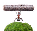 Worker ant holding log isolated on white formica rufa heavy background Royalty Free Stock Image