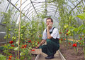 Worker sitting thinking about harvest of tomatoes the in the greenhouse transparent polycarbonate Stock Image