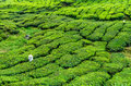 Worker on the tea plantation Royalty Free Stock Photo