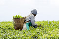 Worker at a tea plantation Royalty Free Stock Photo