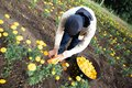 stock image of  Workers collect marigold flowers