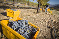 Workers harvest ripe red wine grapes into bins one fall morning Stock Image