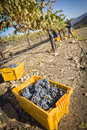 Workers harvest ripe red wine grapes into bins one fall morning Royalty Free Stock Photos