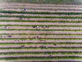 Workers harvesting in vineyard, aerial view from above Royalty Free Stock Photo