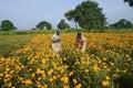 Workers plucking ripened marigold flower flori culture flowers tagetes erecta gundelpet karnataka india Royalty Free Stock Photos