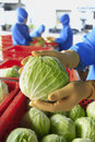 Workers selected cabbage Royalty Free Stock Photo