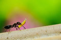 The working ant Royalty Free Stock Photo