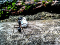 A working ant Royalty Free Stock Photo