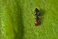 Working ant on a green leaf Royalty Free Stock Photo