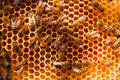 Working bees on the yellow honeycomb with sweet honey. Royalty Free Stock Photo