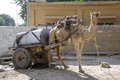 Working Camel, India Stock Photography
