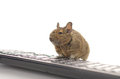 Working Degu Royalty Free Stock Images
