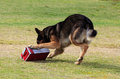 Working dog sniffing out drugs or explosives german shepherd a suspecting package for note there is motion blur in all of the dogs Stock Image